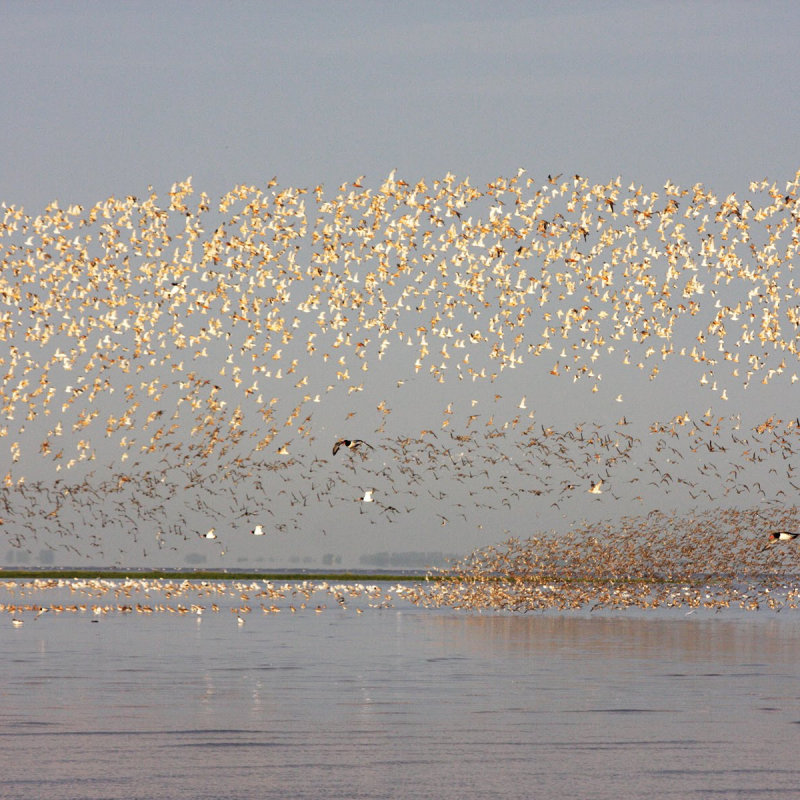 RSPB Snettisham Nature Reserve - The RSPBs Snettisham reserve gets you close to the wild heart of The Wash - the UK�s most important estuary for wildlife. Two of the UKs best wildlife spectacles can be experienced at Snettisham
